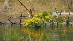 Gele bloemen in de rivier stock videobeelden