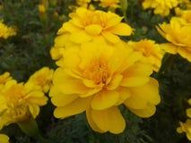 Gele bloemen in de tuin Royalty-vrije Stock Fotografie