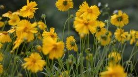 Gele bloemen in de wind stock videobeelden