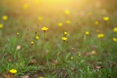 Gele bloemen in de zomerweide Stock Fotografie