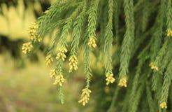 Gele bloemen die op een Cryptomeria-boom in de lente bloeien stock foto