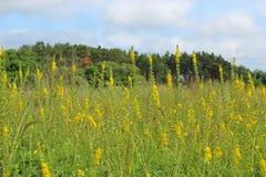 Gele bloemen die van Agrimonia-eupatoria op gebied tot bloei komen Geneeskrachtige installatie Royalty-vrije Stock Afbeelding