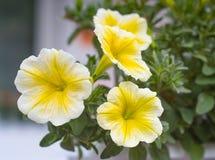 Gele bloemen die van jaarlijkse petuniafamilie in gegroepeerd GA bloeien stock foto