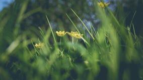 Gele bloemen, door het groene gras Stock Foto
