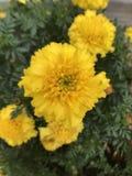 Gele bloemen en groen gebladerte stock afbeelding