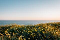 Gele bloemen en mening van de Vreedzame Oceaan bij Dana Point Headlands Conservation Area, in Dana Point, Oranje Provincie, Calif royalty-vrije stock afbeeldingen