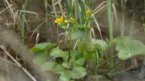Gele bloemen in fritillary athaliamelitaea van de moerasdopheide spearworts op bloemranunculus boterbloemen stock video