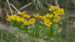 Gele bloemen in fritillary melitaeaathalia van de moerasdopheide spearworts op bloemranunculus boterbloemen stock videobeelden
