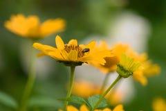 Gele bloemen gelijkend op zonnebloemen met een vlieg royalty-vrije stock afbeeldingen
