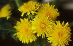 Gele bloemen in het gras Royalty-vrije Stock Foto