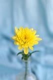 Gele bloemen hrysanthemums in een vaas op een blauwe achtergrond royalty-vrije stock afbeelding