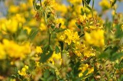 Gele bloemen, macro Royalty-vrije Stock Afbeelding