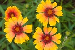 Gele bloemen met een rode hartclose-up Royalty-vrije Stock Afbeeldingen
