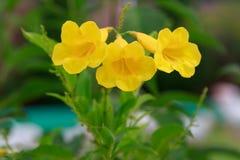 Gele bloemen met natuurlijke groene bladerenachtergrond Royalty-vrije Stock Afbeeldingen