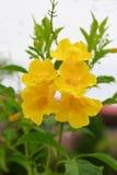 Gele bloemen met natuurlijke groene bladerenachtergrond Royalty-vrije Stock Foto's