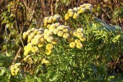 Gele bloemen met vorst Stock Afbeeldingen