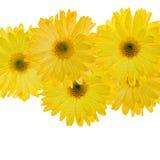 Gele bloemen met waterdruppeltjes Stock Afbeelding