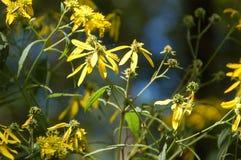 Gele Bloemen - Moeilijke Looppassleep Stock Afbeelding