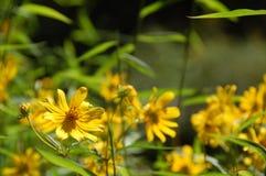 Gele Bloemen - Moeilijke Looppassleep Royalty-vrije Stock Fotografie