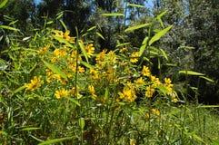 Gele Bloemen - Moeilijke Looppassleep Royalty-vrije Stock Foto