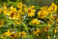 Gele Bloemen - Moeilijke Looppassleep Royalty-vrije Stock Foto's