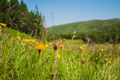 Gele bloemen op bergengebied Stock Fotografie