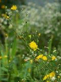 Gele bloemen op een achtergrond van groen gras Stock Foto