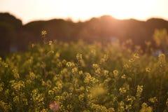 Gele Bloemen op een Gebied Royalty-vrije Stock Afbeeldingen