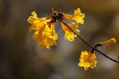 Gele bloemen op een gouden trompetboom stock foto
