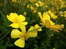Gele bloemen op een Juni-gebied Royalty-vrije Stock Afbeelding