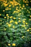 Gele bloemen op het groene gebied, de wildernis Stock Afbeeldingen