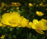 Gele bloemen op het Juni-gebied Royalty-vrije Stock Afbeelding