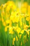 Gele bloemen op zonlicht in tuin Royalty-vrije Stock Foto's