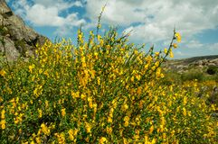 Gele bloemen over struiken en rotsen stock foto