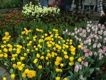 Gele bloemen, roze en rode tulpen Stock Foto's