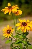 Gele Bloemen Rudbekia Royalty-vrije Stock Foto