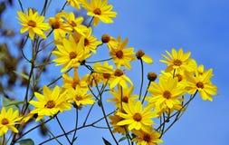 Gele bloemen tegen de blauwe hemel Stock Fotografie