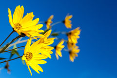 Gele bloemen tegen de blauwe hemel Bloeiende artisjok Stock Foto's