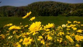 Gele bloemen in tuin Royalty-vrije Stock Foto