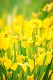 Gele bloemen in tuin Stock Fotografie