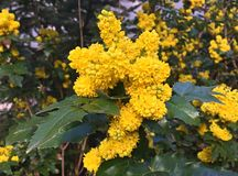 Gele bloemen in tuin, machoniafremonti royalty-vrije stock afbeelding