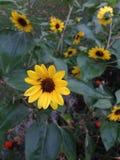 Gele bloemen in tuin royalty-vrije stock afbeelding