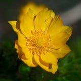 Gele bloemen van adonis Stock Afbeeldingen