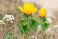 Gele bloemen van Adonis Stock Foto