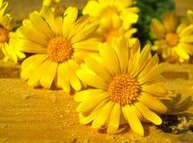 Gele bloemen van calendula Royalty-vrije Stock Afbeeldingen
