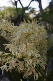 Gele bloemen van de de rotsorchidee van Sydney stock afbeeldingen