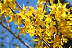 Gele bloemen van forsythia tegen de blauwe hemel Royalty-vrije Stock Afbeeldingen