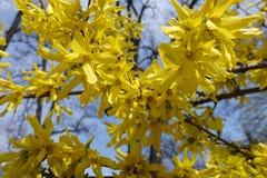 Gele bloemen van forsythia tegen de hemel stock foto