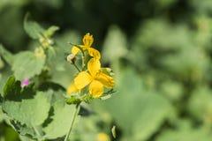 Gele bloemen van grotere celandine op vage majus achtergrond van Chelidonium Royalty-vrije Stock Afbeelding