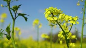 Gele bloemen van het bloeiende gebied van mosterdsinapis stock footage